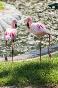 Flamingos from Thailand Photo